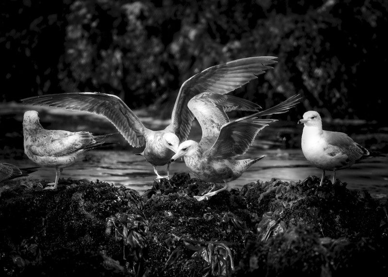 Gulls on a Rock