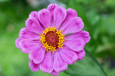 the full Zinnia