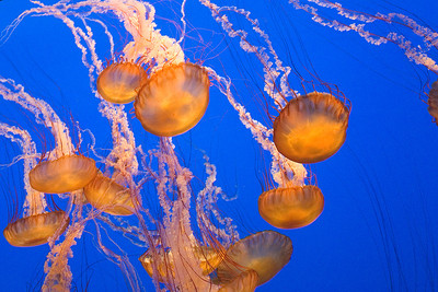 Black Sea Nettle Jellyfish