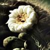23 - cactus flower