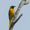 Baltimore Oriole (1st year immature male)