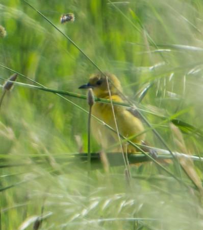 Prothonotary Warbler (Juvenile?)