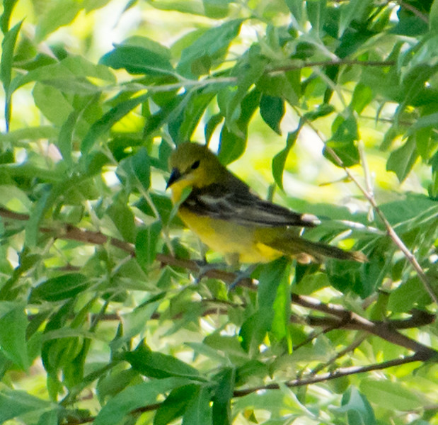 Female Prothonotary Warbler