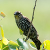 Femaie Red-winged Blackbird
