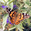 Painted Lady Migration