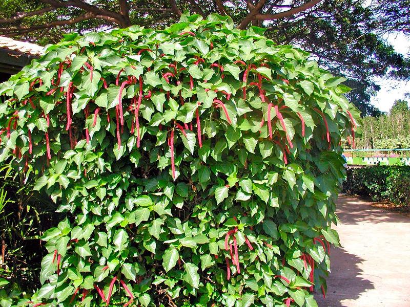 Chenille Plant - Maui Tropical Plantation