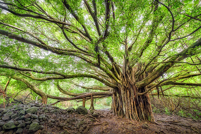 The Banyan Tree, Study 2, Maui, Hawaii