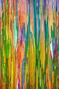 Rainbow Eucalyptus Tree, Study 3 , Maui, Hawaii