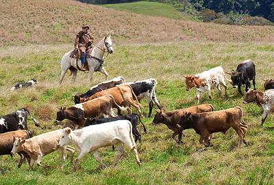 5357 Piiholo Ranch Horseback Riding - Cowboy for a Day Experience