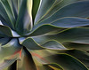 "<p></p><div id=""centered_description"">Agave, Upcountry</div>"