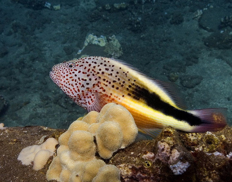"<p></p> <div id=""centered_description"">Freckled Hawkfish</div>"