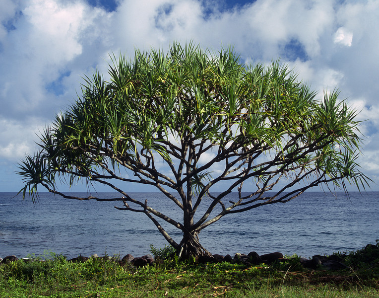 "<p></p><div id=""centered_description"">Tree, North Shore</div>"