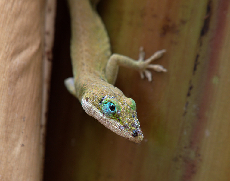 "<p></p><div id=""centered_description"">Green Anole in a Banana Tree, Lahaina</div>"