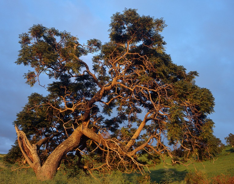"<p></p><div id=""centered_description"">Tree on Ranch Land, Ulupalakua</div>"
