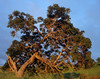 "<p></p><div id=""centered_description"">Tree on Ranch Land, Ulupalakua</div>"