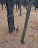 "<p></p><div id=""centered_description"">Experimental Pine Forest, Olinda</div>"