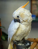 "<p></p><div id=""centered_description"">Sulfur Crested Cockatoo, Lahaina </div>"