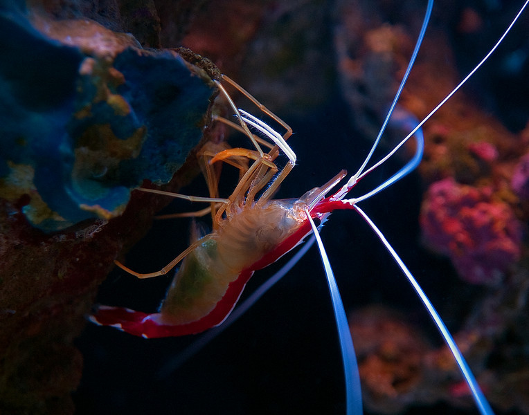 "<p></p> <div id=""centered_description"">Cleaner Shrimp </div>"