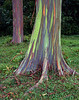 """<p></p><div id=""""centered_description"""">Rainbow Eucalyptus, Hana Highway</div>"""