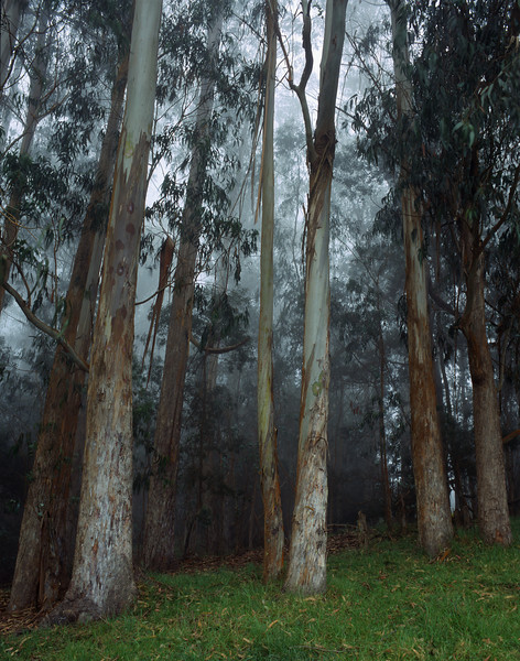 "<p></p><div id=""centered_description"">Eucalyptus (invasive species), Kula </div>"