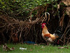 "<p></p><div id=""centered_description"">Backyard Cock, Makawao</div>"