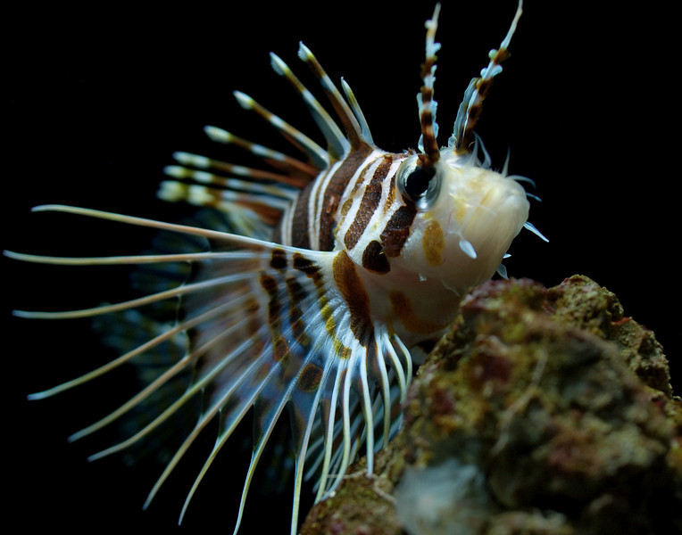 "<p></p> <div id=""centered_description"">Hawaiian Turkey Fish (Red Lion Fish)</div>"