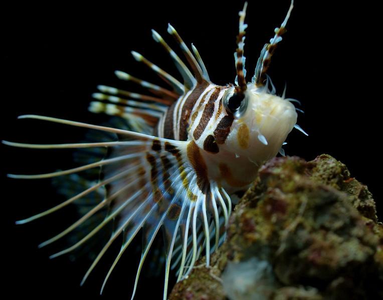 "<p></p> <div id=""centered_description"">Hawaiian Turkey Fish (Red Lion Fish)</div>"