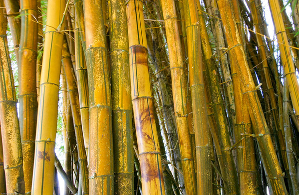 Bamboo serves only ornamental purposes in Hawaii but its height makes it a subject often recorded in detail shots. This limitation isn't all bad as there are many varieties with varying color patterns to work with when searching for representative compositions to record.