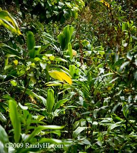 "IMG_9444 Ti (pronounced ""tea"") plants are very common in Hawaii. It is said if you cut or break a Ti it will rain."