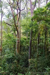 Rainbow Eucalyptus Road to Hana