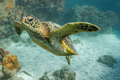 Honu Chicken