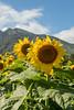 Sunflowers on Maui