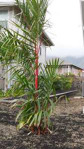Red sealing wax palm aka lipstick palm planted on the south side of the house.