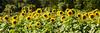 Maui sunflower field