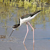 Hawaiian Stilt