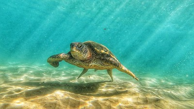 Green Sea Turtle underwater in Maui