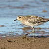 Pacific Golden Plover