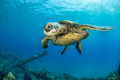 Turtle with tumors