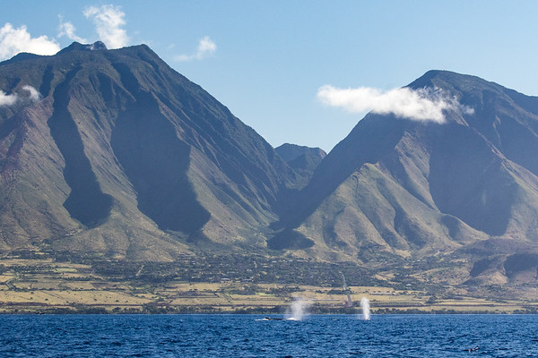 Whale spouts near West Maui mountains