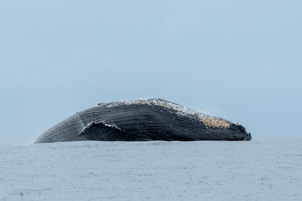 This whale seemed to just land on the water without a splash.  Or it is taking a nap on its back.