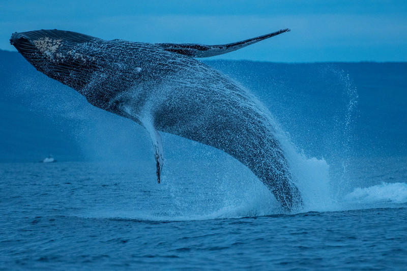 40 tons of whale take to the air.