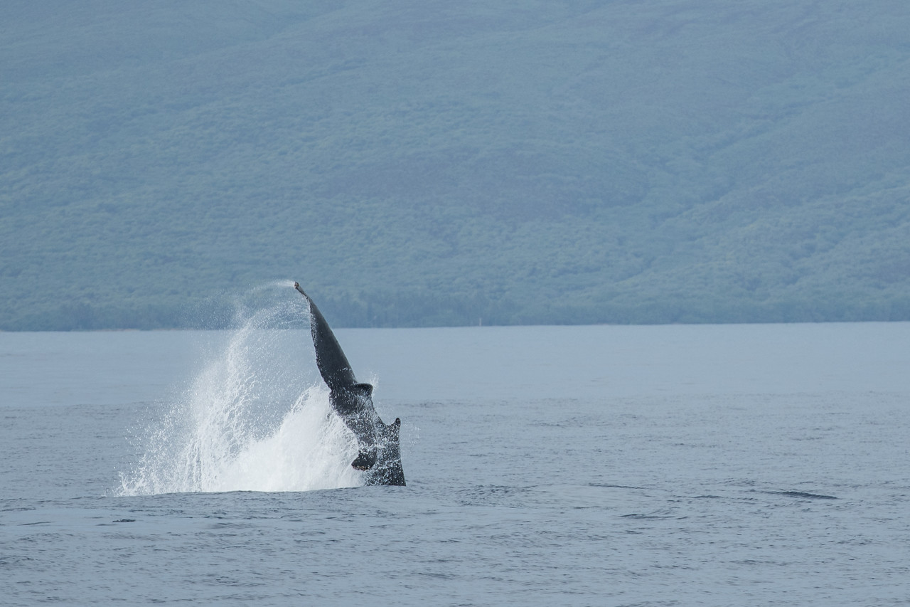 Pectoral fin slapping, a common humpback behavior.