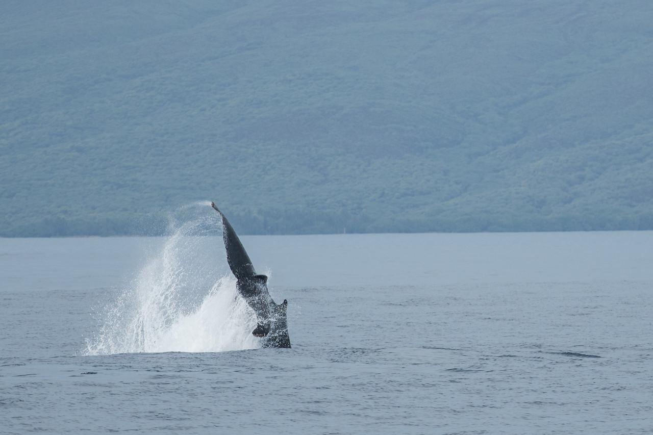 Pectoral fin slapping, a common humpback behavior.