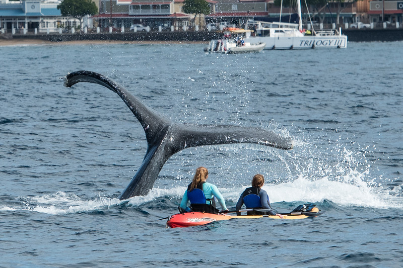 These kayakers were a bit surprised when this whale decided to dive about 10 feet in front of them.