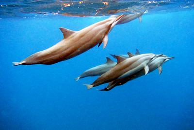 Spinner Dolphins, Le Morne Peninsula, Mauritius, Africa
