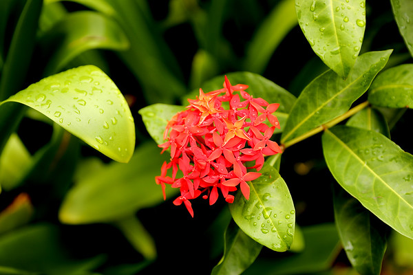 Ixora Flower, Le Morne Peninsula, Mauritius, Africa