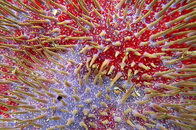 Crown of Thorns Starfish, Le Morne Peninsula, Mauritius, Africa