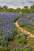 Bluebonnets at Mule Shoe Bend (vertical)