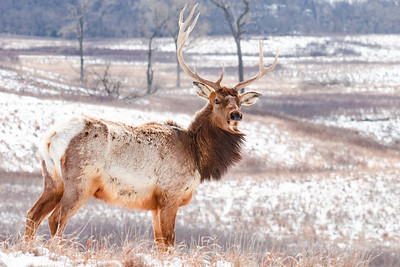 Maxwell Elk in the Snow