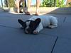 062 Tired Puppy